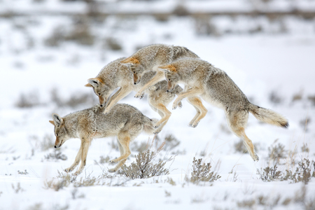 Coyote leaping on a vole