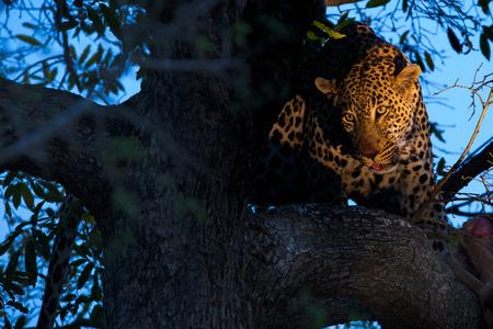 木の上に座っているヒョウ 写真素材