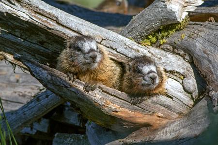 Marmot pups hiding in tree 版權商用圖片