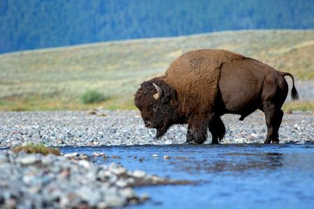 Bison crossing Lamar river