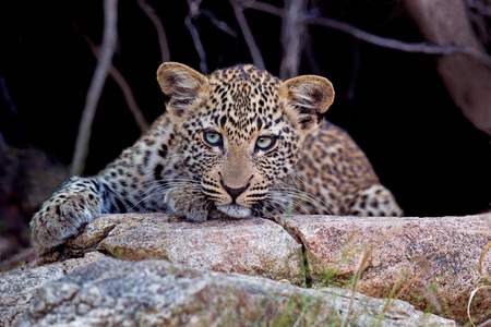 Leopard cub waits for its mother