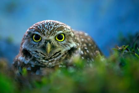 Burrowing owl near its burrow