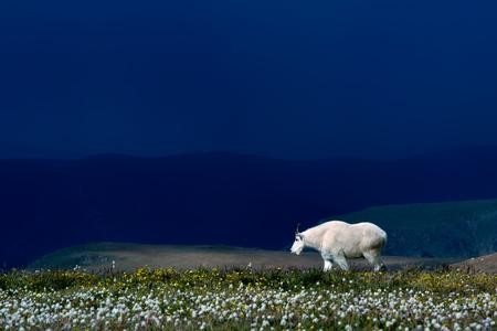 Mountain goat grazing in a field