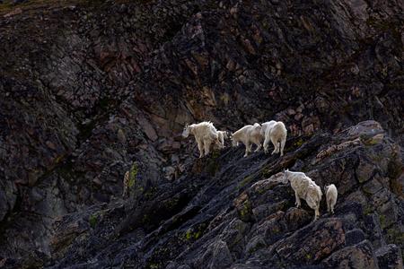 丘の上の山ヤギの群れ 写真素材