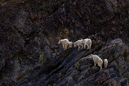 Mountain goat herd on a hill