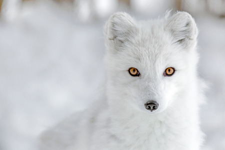 Arctic fox staring at the photographer 스톡 콘텐츠