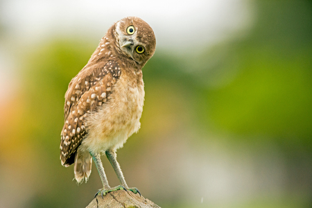 Burrowing owlet inspecting the photographer 版權商用圖片