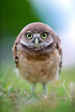 Burrowing owlet inspecting the camera