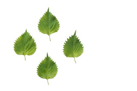 Fresh nettle leaves and on white background Stock fotó