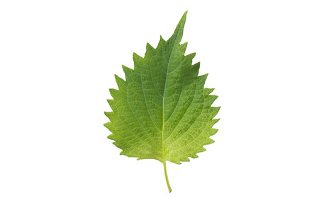 Fresh nettle leaves and on white background Stock Photo