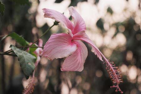 stamen: Pink Hibiscus