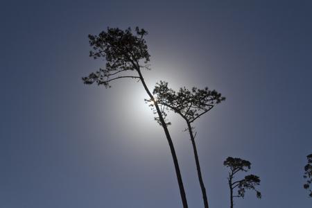 back lighting: Pine trees , back lighting. Day for night.