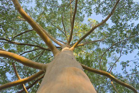 eucalyptus tree: Eucalyptus tree. Low angle view. Stock Photo