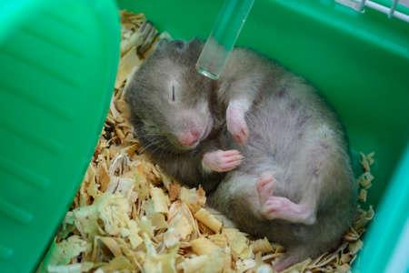Sleeping Hamster Stock Photo