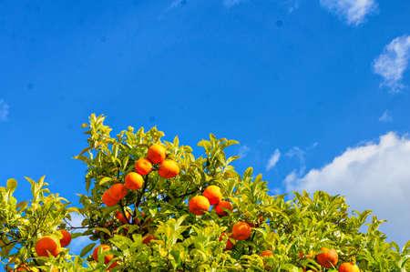 naranja arbol: Tiro de �ngulo bajo de los Naranjos. Foto de archivo