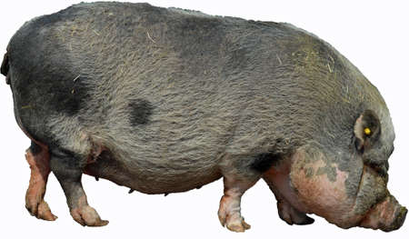 Pot-Bellied Pig White Background photo
