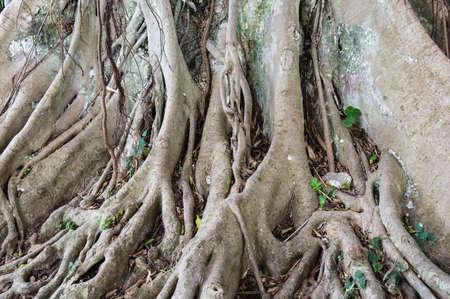Close-up of a Banyan interlaced roots photo