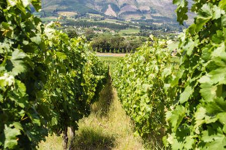 capetown: vineyard in capetown