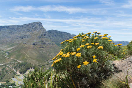 Table Mountain seen from Lions Head Mountain with flowers. photo