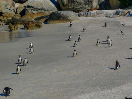 penguins on beach: Penguins on Boulder beach near Cape town. Stock Photo