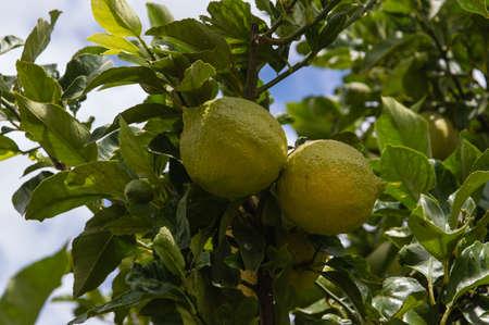 lemon tree: Rama de un �rbol de lim�n con limones y hojas en el fondo.