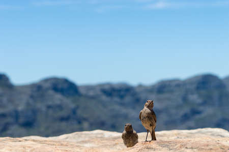 familiaris: Two Chat birds (cercomela familiaris) posing in front of the camera with the Twelve Apostles Blurred in the background. Stock Photo