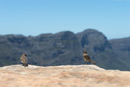 chapmans: Two Chat birds (cercomela familiaris) posing in front of the camera with the Twelve Apostles Blurred in the background. Stock Photo