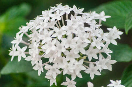 lucia: White St Lucia flowers
