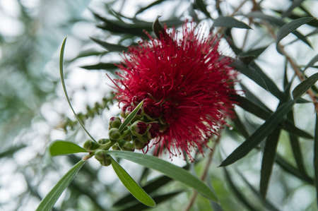 callistemon: Australian Bottlebrush (Callistemon) - Myrtaceae Stock Photo