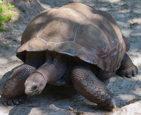ancient turtles: Giant tortoise at the Zoo