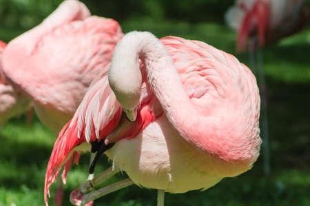 preening: Preening Flamingo