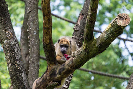 howler: Howler monkey eating fruit in a tree