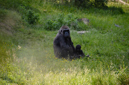 lowland: Female western lowland gorilla Stock Photo