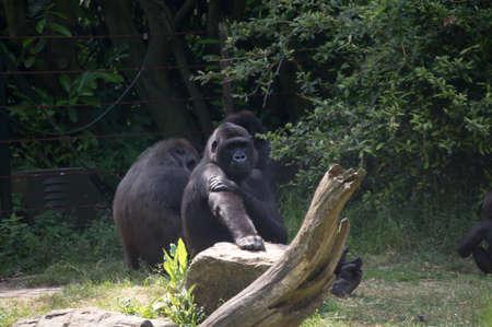 western lowland gorilla: Maschio gorilla di pianura occidentale Archivio Fotografico