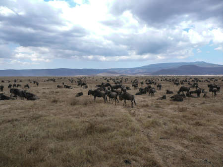upperdeck view: Gnu migrano nel Serengeti