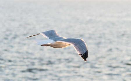gliding: Seagull in gliding in mid-flight