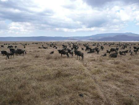 migrating: Wildebeest Migrating Stock Photo