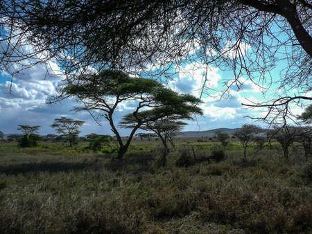 acacia tree: Acacia tree