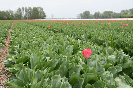 Tulipfield in Holland after Deadheading photo