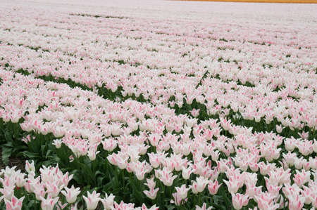 Tulipfield in the Netherlands. photo
