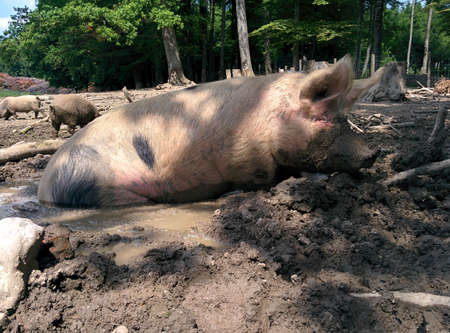 potbelly: pig playing in the mud
