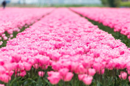 pink tulip field in North Holland during spring photo