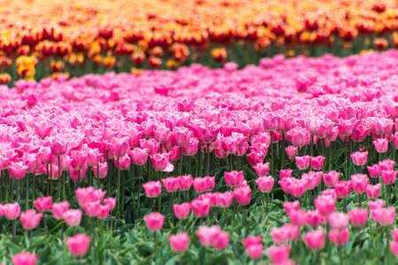 Pink, Orange tulip field in North Holland during spring photo