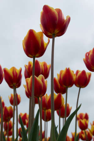filming point of view: Low angle shot of Dutch Tulips Stock Photo