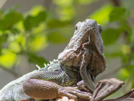 Portrait of a Lizard Looking into the Camera. photo