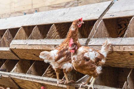 hatchery: Chickens at a Chickenfarm Stock Photo