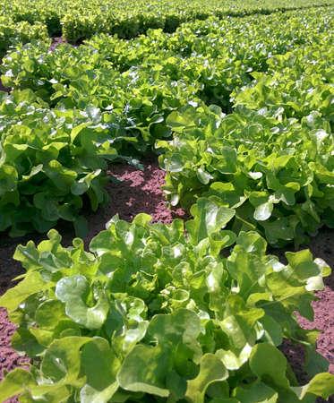 Fresh Green Lettuce on a dutch farm photo