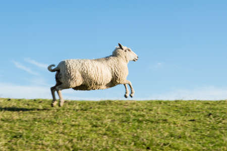 Jumping Sheep photo