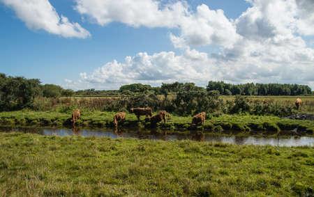 highlander: Ganado de la monta�a (Scottish Highlander) en Lauwersmeer, Pa�ses Bajos