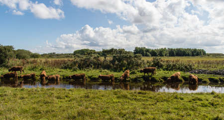 highlander: Highland Cattle (Scottish Highlander) a Lauwersmeer, Paesi Bassi